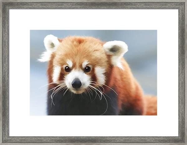 Red Panda Staring Framed Print