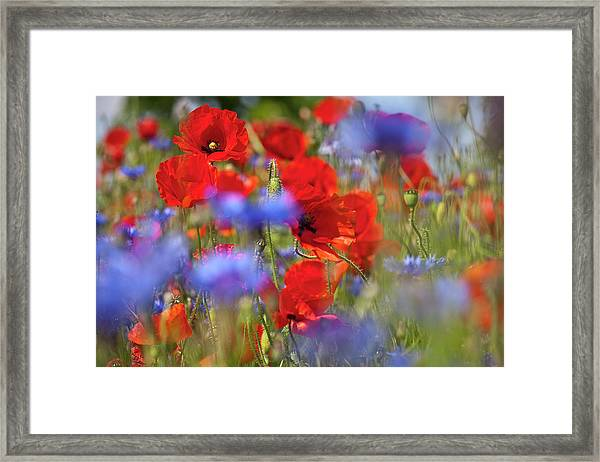Red Poppies In The Maedow Framed Print