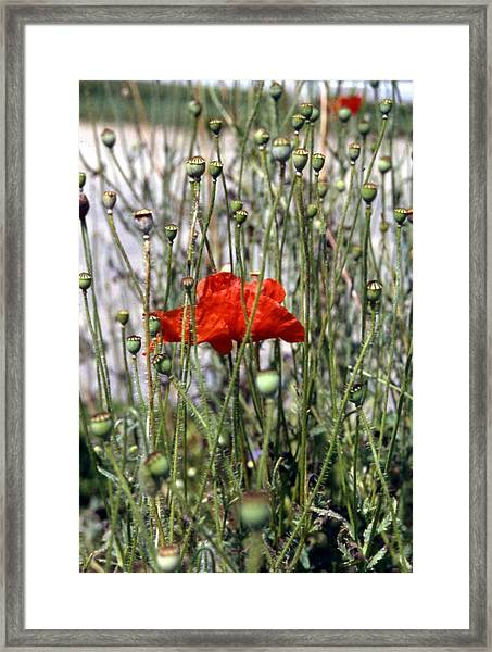 Red Poppy And Buds Framed Print