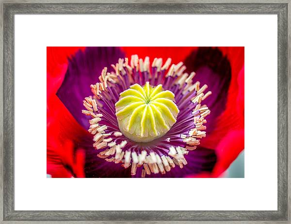 Red Poppy. Framed Print