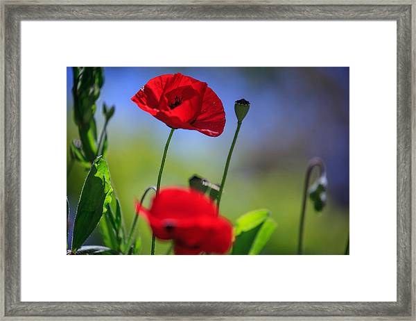Red Prince Framed Print