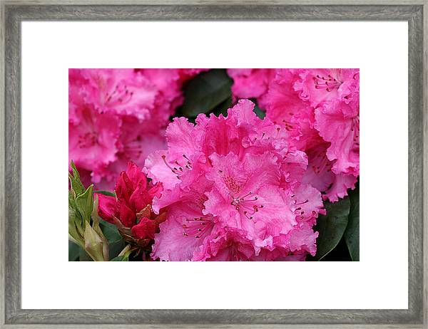 Red Rhododendrons Framed Print