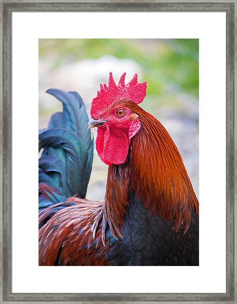 Red Rooster Framed Print