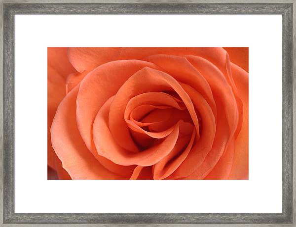 Red Rose Floribunda Closeup Framed Print