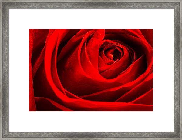 Red Rose Framed Print by Zev Steinhardt