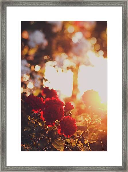 Red Roses At Sunset Framed Print
