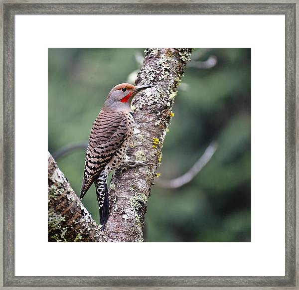 Red Shafted Flicker V Framed Print by Ronda Broatch