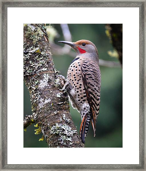 Red Shafted Flicker Vi Framed Print by Ronda Broatch