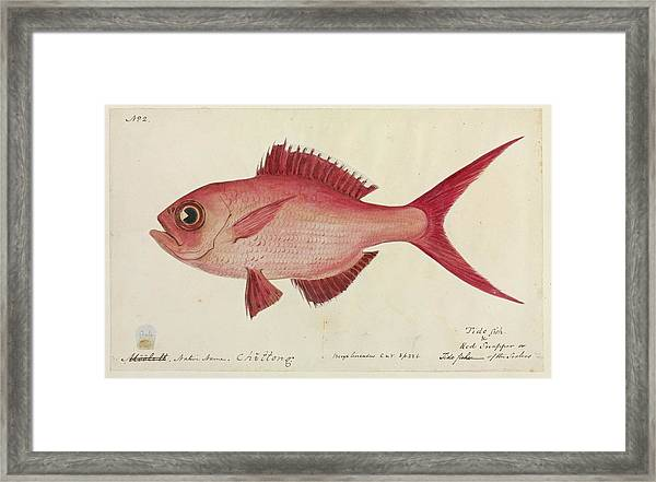 Red Snapper Fish Framed Print by Natural History Museum, London/science Photo Library
