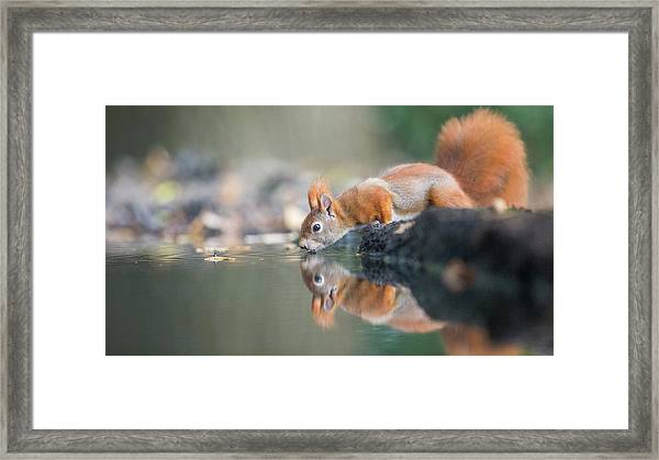 Red Squirrel Framed Print by Erik Willaert