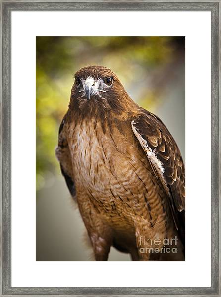 Eyes Of The Raptor Framed Print