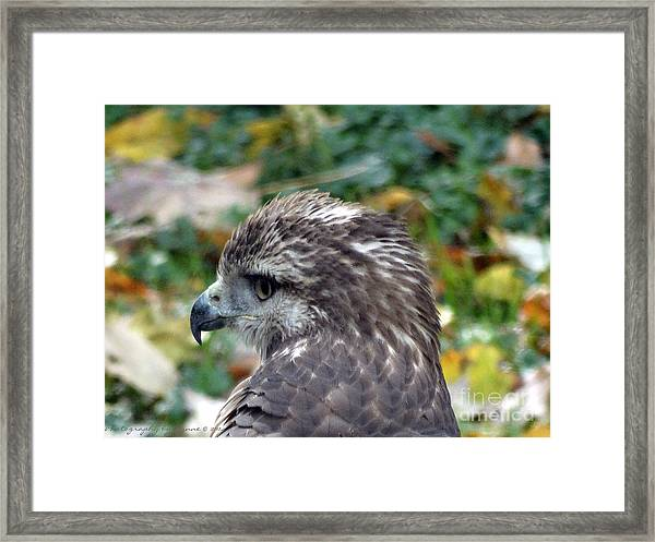 Red Tail Hawk Head Shot Framed Print