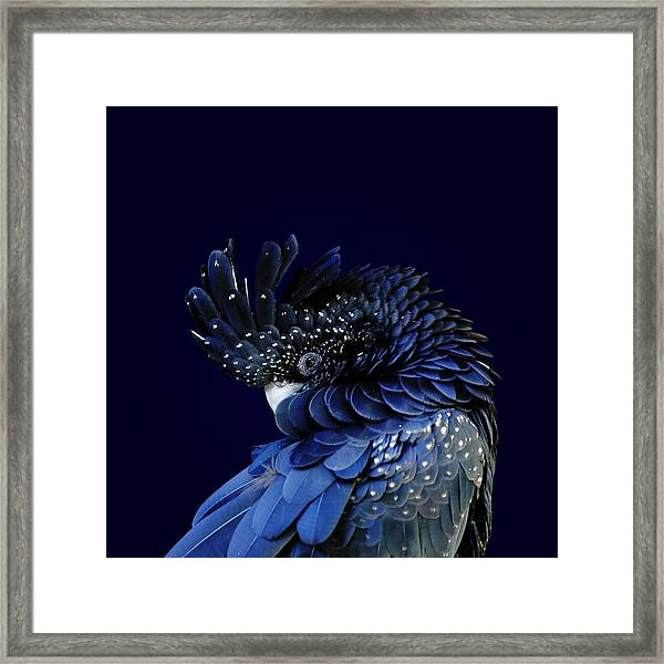 Red-tailed Black Cockatoo Framed Print by © Debi Dalio