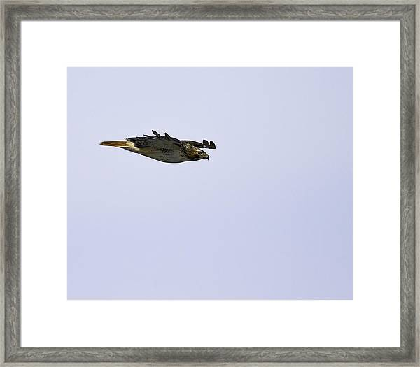 Red-tailed Hawk In Flight 3 Framed Print