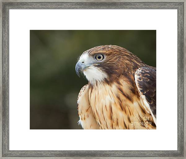 Red Tailed Hawk  Framed Print by Joshua Clark
