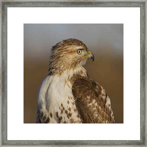 Red-tailed Hawk Portrait Framed Print