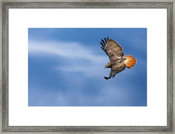 Red Tailed Hawk Soaring Framed Print
