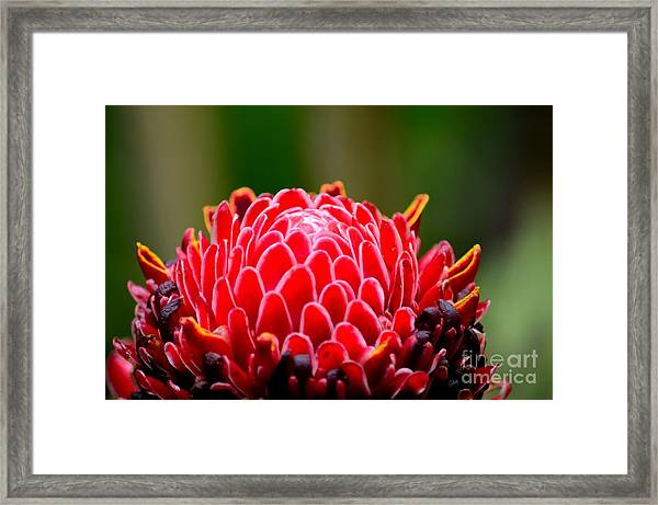 Red Torch Ginger Flower Head From Tropics Singapore Framed Print
