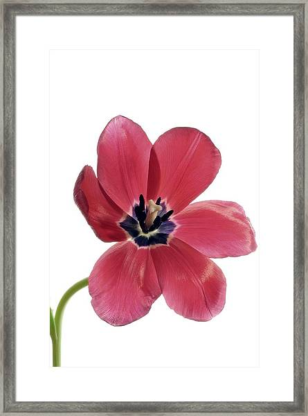 Red Transparent Tulip Framed Print