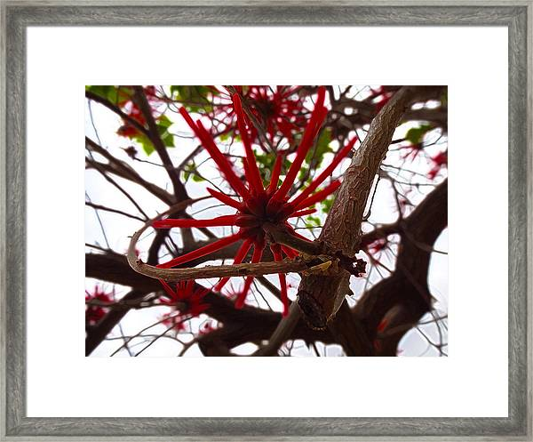 Red Tree Spiders  Framed Print