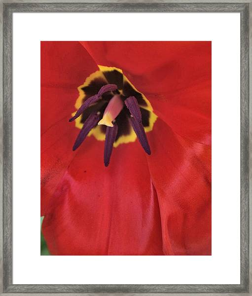 Red Tulip Detail Framed Print