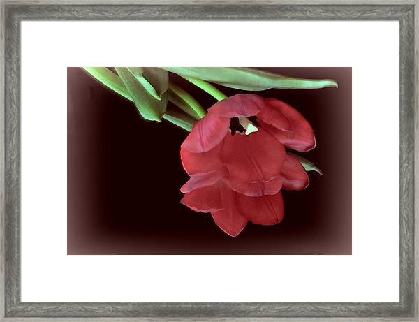Red Tulip On Burgundy Framed Print