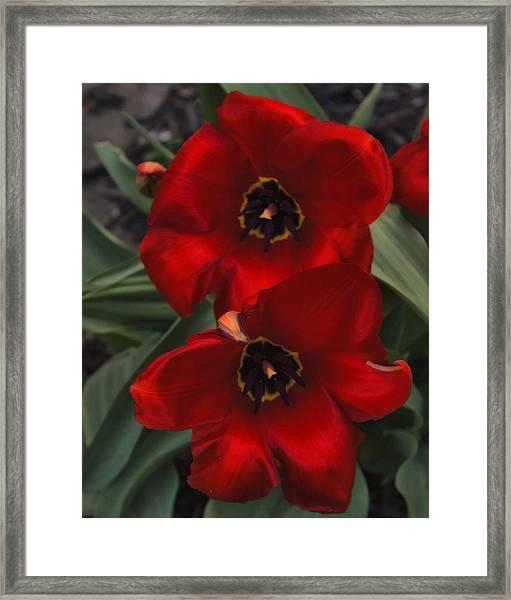 Red Tulip Pair Framed Print