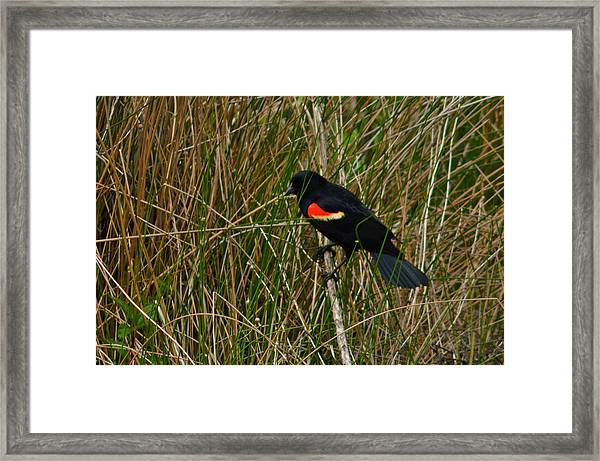 Red Wing Blackbird 4 Framed Print
