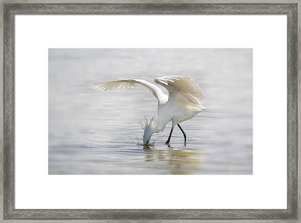 Reddish Egret White Morph Fishing. Framed Print