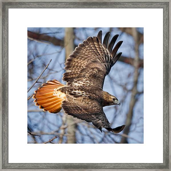 Redtail Hawk Square Framed Print