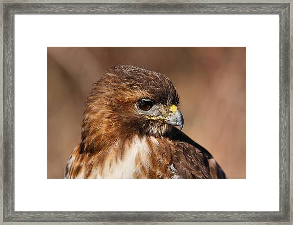 Redtail Portrait Framed Print