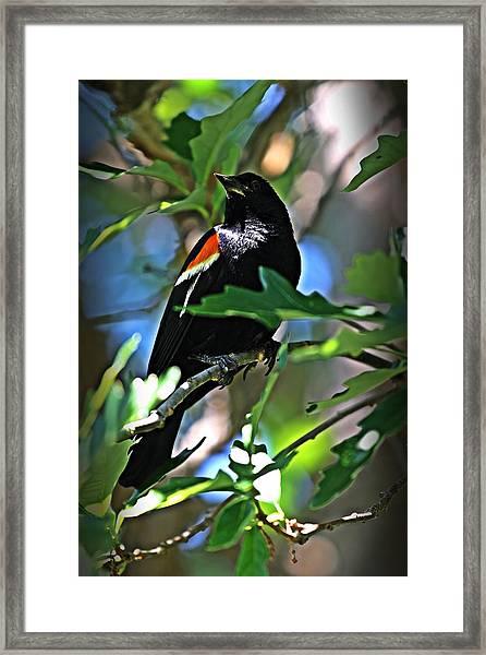 Redwing Blackbird On Alert Framed Print