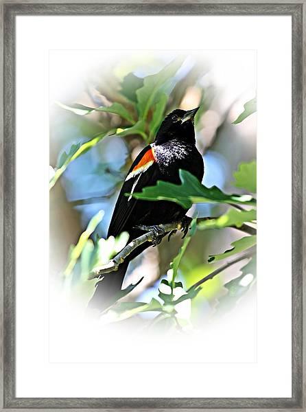 Redwing Strikes A Pose Framed Print
