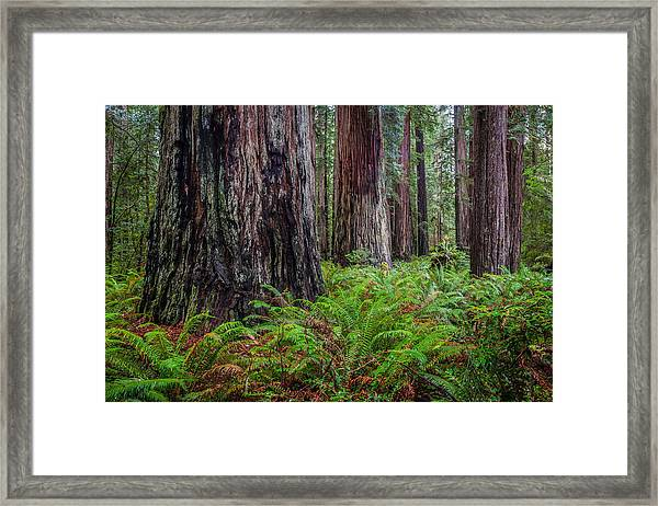 Redwood Sentinels Framed Print by Mike  Walker