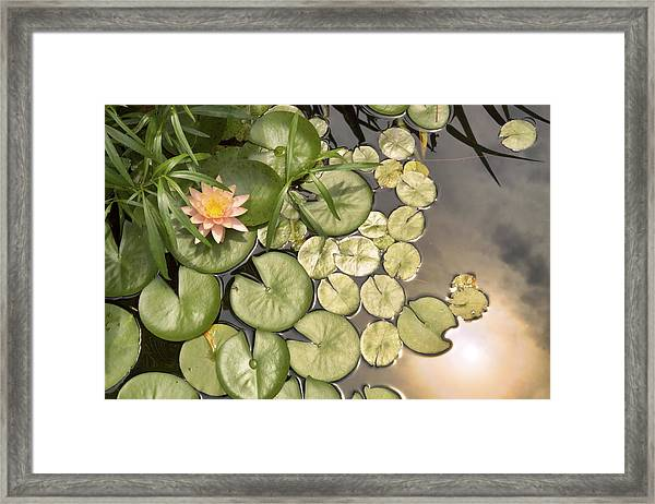 Reflected Light Upon Flowering Water Lilies Framed Print