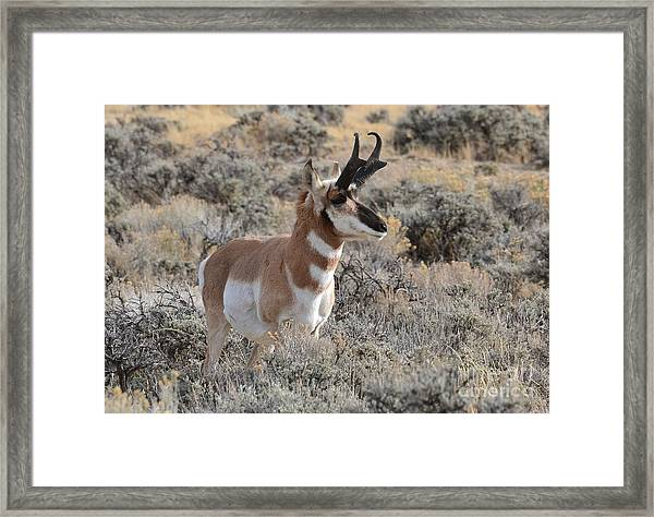 Regal Patriarch Framed Print