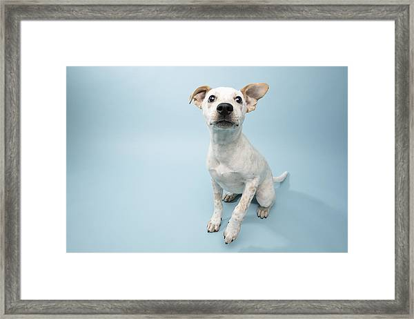 Rescue Animal - Cattle Dog Mix Puppy Framed Print by Amandafoundation.org