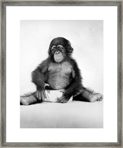 Research Chimp At Yale Labs Framed Print