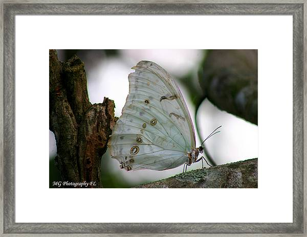 Resting Butterfly Framed Print