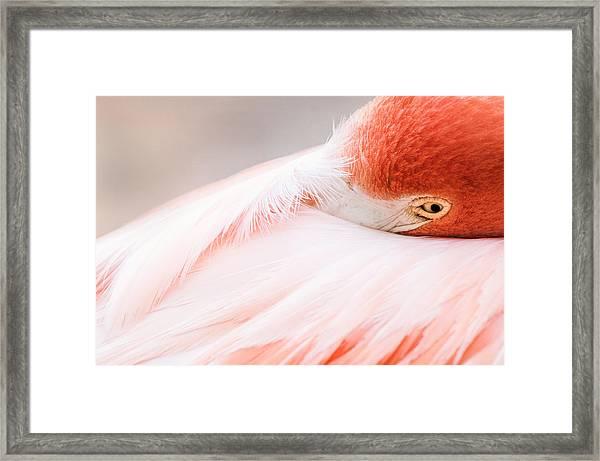 Resting Flamingo Framed Print