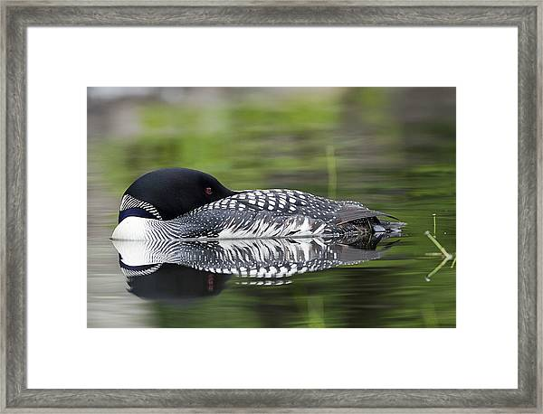 Resting Loon Framed Print
