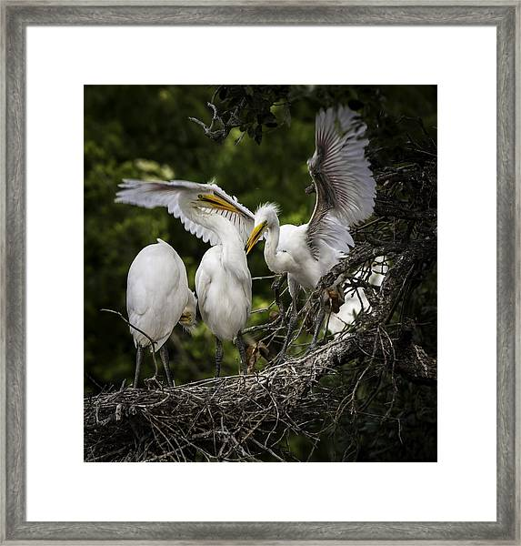 Restless Teenage Egrets Framed Print