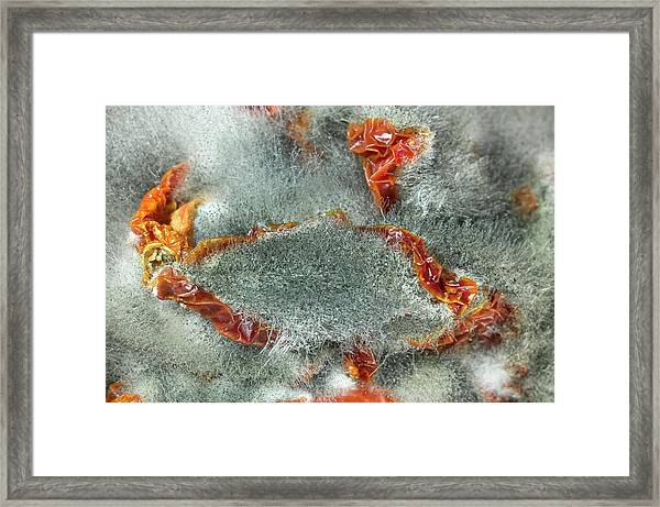 Rhizopus Stolonifer On Sundried Tomatoes Framed Print by Dr Jeremy Burgess