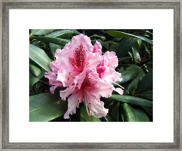 Rhododendron 2 Framed Print
