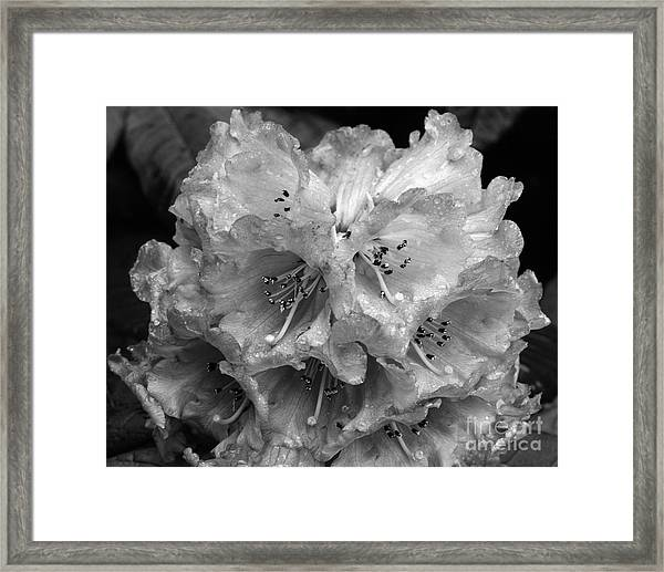 Rhododendron In The Rain Framed Print
