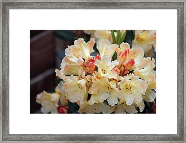 Rhododendron Nancy Evans Framed Print