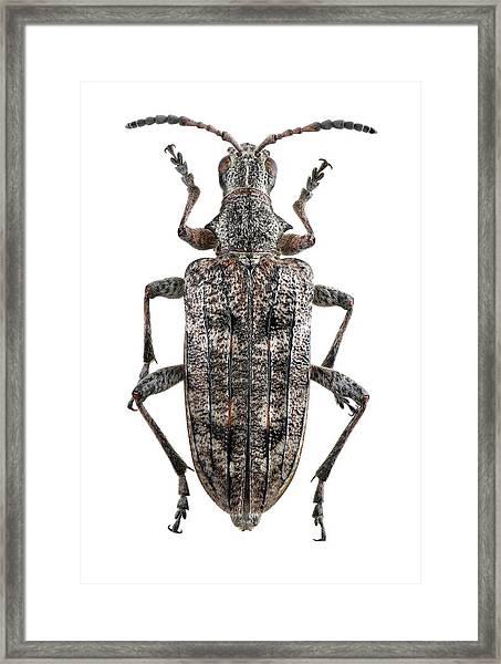 Ribbed Pine Borer Beetle Framed Print by F. Martinez Clavel