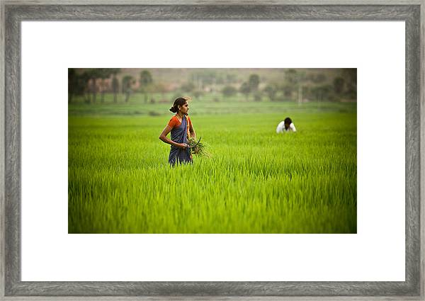 Rice Harvest Framed Print