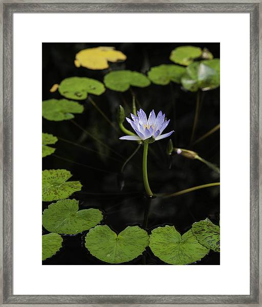 Ring Around The Lilly Framed Print