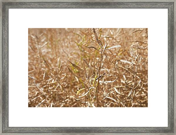Ripe Rapeseed Crop Framed Print by Lewis Houghton/science Photo Library